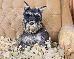 Bored dog tearing up sofa