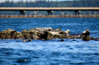 Seals near the Hood Canal Bridge