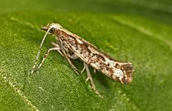 Diamondback Moth (Plutella xylostella)