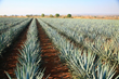 Exclusive Tequila Experience Includes Private Plane to Tequila and Tasting at Mexico's Oldest Tequila House & Lunch Among Agave Fields From Grand Velas Riviera Nayarit