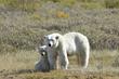 Mom and cub at Nanuk Polar Bear Lodge. Ian Johnson photo.