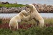 Polar bears sparring at Seal River. Judith Herrdum photo.