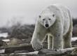 Polar bear walks towards photographers. Robert Postma photo.