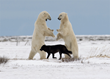 Black wolf referees polar bear sparring match. Jiangou Xie photo.