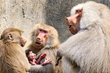 New Baby Welcomed by Baboon Troop, Grows to Sixteen at Oakland Zoo