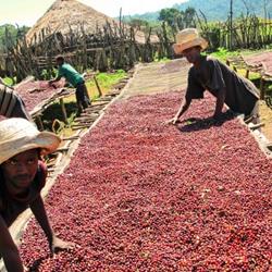 Ethiopian Burka Gudina coffee from Crimson Cup Coffee & Tea