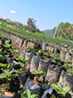 Coffee seedlings in Peru