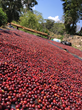 Coffee cherries in Peru
