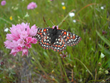 Photograph of the Bay Checkerspot Butterfly, and endangered butterfly protected by the Land Trust of Santa Clara Valley land preservation actions.