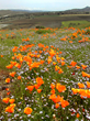 Photograph of bright orange California native poppies in preserved land in Santa Clara Valley.