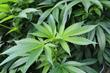 GrowSpan Introduces the Versatile Cannabis Metal Building