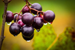 Photo of Muscadine grapes on a vine.