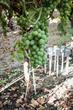 Fybr's test soil moisture sensor array monitoring grapes at multiple depths.