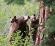 The Bear League, Lake Tahoe Area