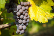 New Evidence Suggests Red Wine Compound May Fight Mesothelioma Better than Resveratrol, According to Surviving Mesothelioma