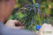 Green Flower Media Launches New Online Subscription Service – Teaching the World How to Grow Organic Cannabis From Home