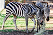 Oakland Zoo Acquires Zebras from Safari West