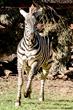 Beaker enjoys a gallop in his habitat at Oakland Zoo