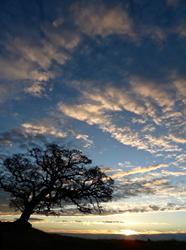 Blue oak tree in Northern California