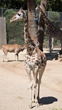 Oakland Zoo Mourns Loss of Beloved Tiki, Likely the Most Well-Known Giraffe in Captivity