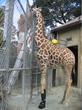 Tiki Getting Ice Boot Therapy in Oakland Zoo's holding area, off exhibit