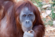 Denver Zoo Sumatran orangutan is expecting her second baby