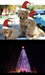 Golden Retriever Mayor Max Invites You to Idyllwild, California's 57th Annual Christmas Tree Lighting Ceremony