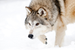 Wildlife Expeditions of Teton Science Schools Announces New 7-Day Yellowstone Winter Wolf-Watching Adventure