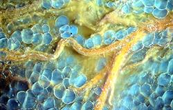 MUSE Microscopy breast tissue