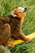 Crowned Lemurs Make their Home at Oakland Zoo