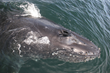 Whale in the Monterey Bay