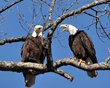 Bald Eagle Excursions - Winter Entertainment on the Tennessee River