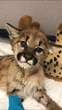 Third Mountain Lion Cub, Found Near-Death, Rescued and Finds Home at Oakland Zoo's California Trail