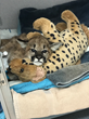 Mountain Lion Cub recuperates at Oakland Zoo's Veterinary Hospital.