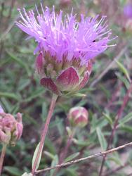 Monardella flower