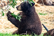 Black bear cub family enjoys pool in their new habitat at Oakland Zoo's California Trail (open to public in June 2018)