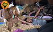Pingree Farms Goat Yoga