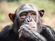 Chimpanzee Self-Control Is Related to Intelligence, Georgia State Study Finds