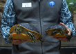 Tennessee Aquarium Conservation Institute biologist Dr. Josh Ennen holds female, left, and male examples of the Florida Red-bellied Cooter. In a recently published study, Ennen found that primarily aquatic species such as the Florida Red-bellied Cooter, females tend to far outsize their male counterparts.