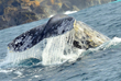 "Spot a Whale Breaching, Spouting or ""Spy Hopping"" at the Mendocino Coast Whale Festival in Fort Bragg"