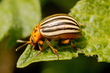Tracing the Origins of the Colorado Potato Beetle: Implications for Effective Pest Management Strategies Against a Beetle that Continues to Decimate Potato Crops