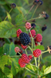 Bushel and Berry Recommends Growing Berries for Mind, Body and Yard