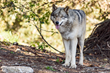 Gray Wolves Welcomed to Oakland Zoo's Upcoming California Trail Expansion