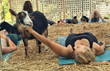 The Original Goat Yoga is Launching Nine Satellite Locations All Across the USA Starting in April, 2018