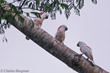 Sneak Preview of Indonesian Parrot Project's New Documentary about Cockatoos