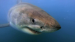 Unique Science Expedition Leading to Possible Protection of the White Shark Café Embarks this Week