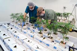 local medical marijuana dispensary celebrates five years