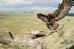 Golden eagle: Moosejaw-Bravo Photography