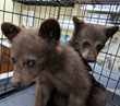 Bearizona Rescues Two 15-Pound Bear Cubs Left Without a Mom