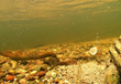 Latest Research on Sea Lamprey Control Helping to Protect Great Lakes Fisheries